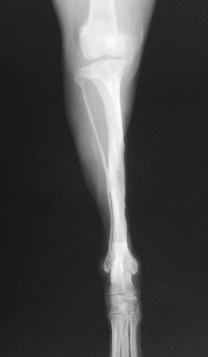 豊中 犬 骨折手術