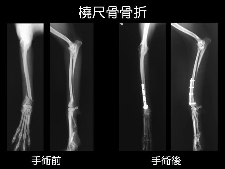 吹田 犬 骨折 手術