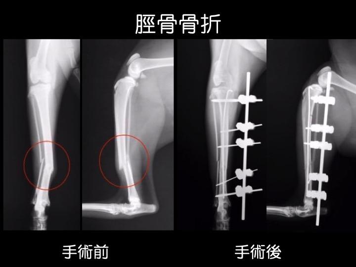 猫 骨折 手術 吹田