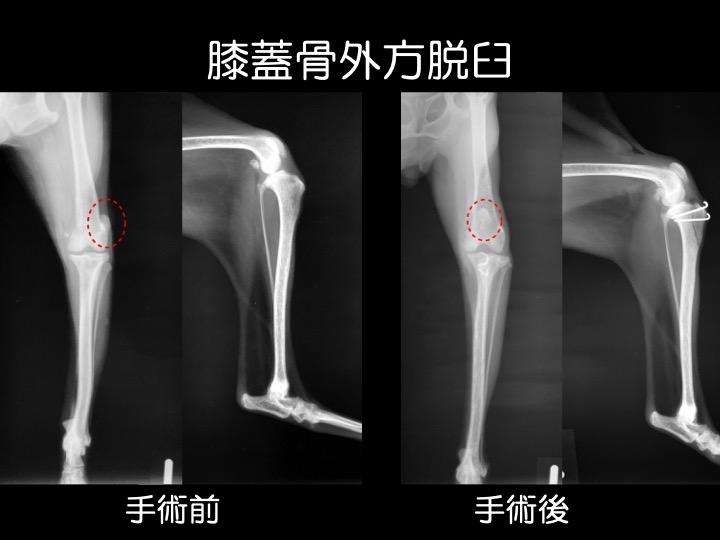 膝蓋骨外方脱臼 動物病院 手術