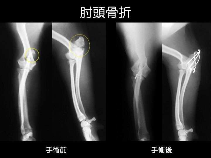 犬 猫 骨折 ギプス 手術 吹田