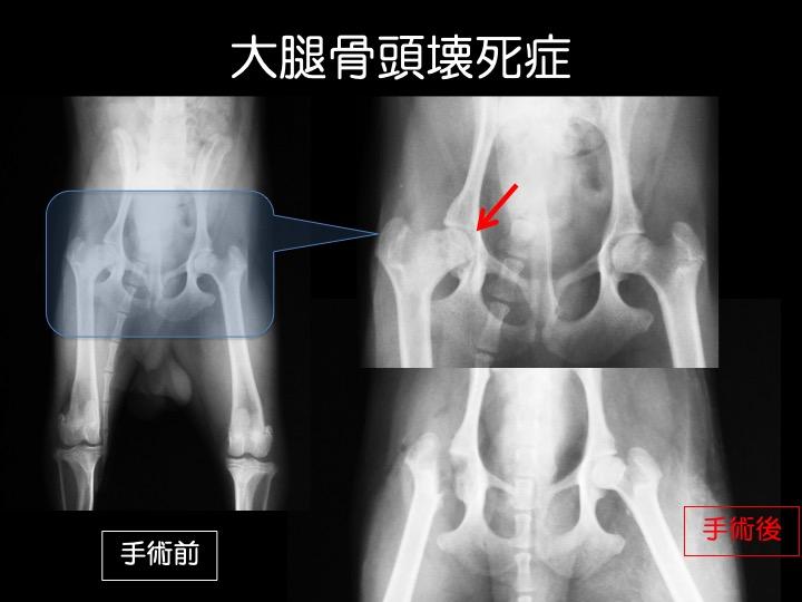 犬 大腿骨頭壊死 レッグペルテス 手術 吹田
