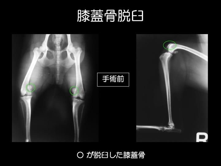 犬 パテラ 膝蓋骨 脱臼 手術 吹田