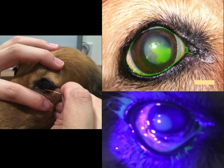 動物病院 角膜潰瘍